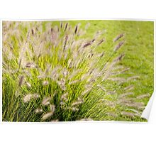 Grass bunch Pennisetum alopecuroides Poster