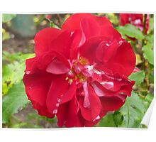 Red Rose and Raindrops Poster