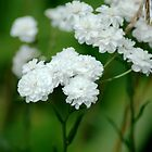 White flowers by 24Flowers