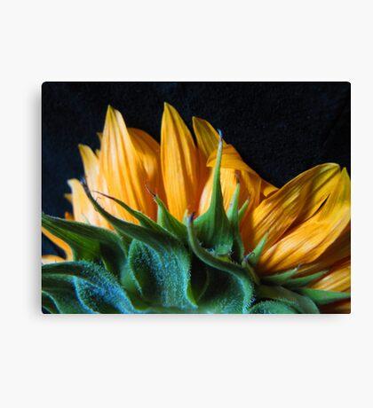 Backside Sunflower Canvas Print