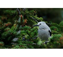 Clark's Nutcracker Photographic Print