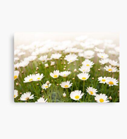 White herb camomiles clump Canvas Print