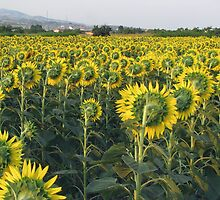 Sunflowers from backside. by rasim1