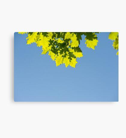 Bunch of green oak leaves Canvas Print