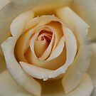 White Rose by Abigail Jennings