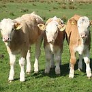 Simmental Calfs by Abigail Jennings
