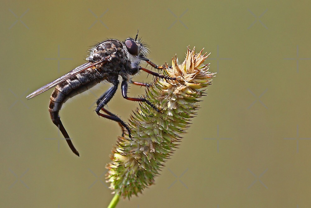 Bearded Robber Fly by Jim Cumming