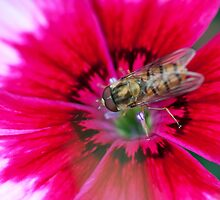 Hoverfly on a pink Petunia by Neil Clarke