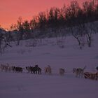 Dog sledding in Tromso, Norway by sarchuk63