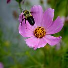 "Bumble Bee 1 ""target acquired"" by Jason Dymock Photography"