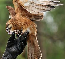 Falcon in Healsville sanctuary by Gary Heald LRPS
