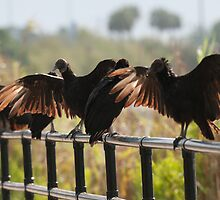 Black Vultures Drying Their Wings In The Everglades by John Hartung