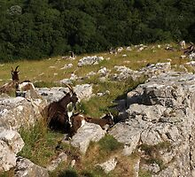 Cheddar goats by TimLarge
