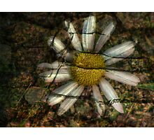 Daisy Engraved in Stone Photographic Print