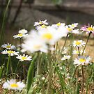 Daisies Wild by Lynn Ede