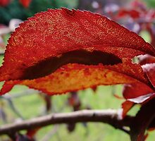 Copper Beech leaf backlit by Conor Donaghy