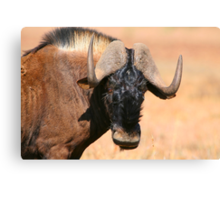 Black Wildebeest Canvas Print
