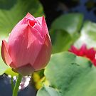 Pink Water Lily Bud by Linda  Makiej