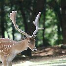 Deer by Michelle Callahan