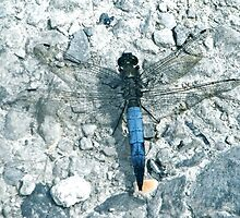Powder Blue Dragon(fly) - Lodmoor Reserve Weymouth by theonewhoisfree