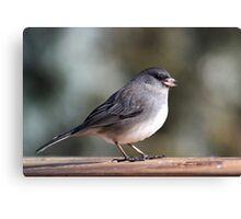 Before the snow - dark-eyed junco Canvas Print