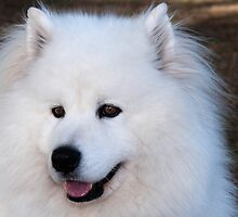 Samoyed  Dog Portrait by imagevixen1