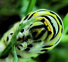 Lunch time - Black Swallowtail Caterpillar by aprilann