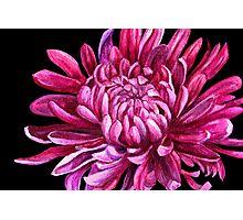 "Chrysanthemum ""the opening"" Photographic Print"