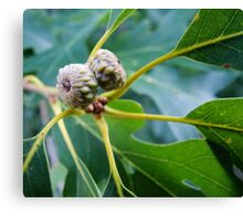 Budding Acorns Canvas Print