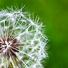 Dandelion Puff Macro by dgweathers