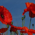 Poppies by wiggyofipswich