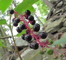 Elderberries by v4p0r