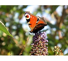 Peacock Butterfly Photographic Print