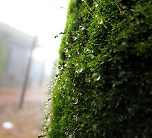 Rain drops on moss by Shiju Sugunan