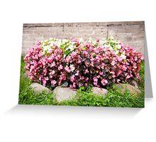 pink Begonia semperflorens clumps Greeting Card