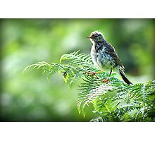 Fledgling Meadow Pipit. Photographic Print