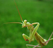 European Praying Mantis ( Mantis religiosa) by Istvan Natart