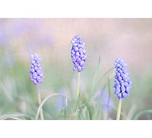 Grape Hyacinths Photographic Print