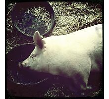 Cecil County Pig Napping Photographic Print