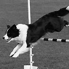 Border Collie Jumping by Jenny Brice