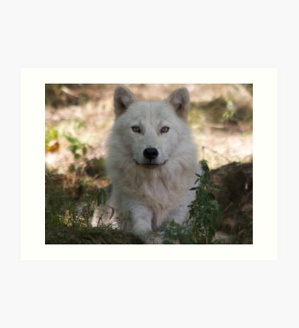 Arctic Wolf - Parc Omega Art Print