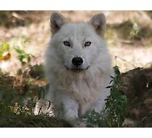 Arctic Wolf - Parc Omega Photographic Print