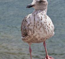Young Herring Gull ~ Lyme Regis by Susie Peek