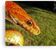 Fluffy - corn snake Canvas Print