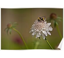 Bee on white flower Poster