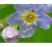 Alaskan Forget me Not Photographic Print