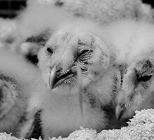 Brood of Barn Owl chicks by Mark Johnson