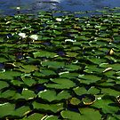Water lilies, late July  by Jim Angel
