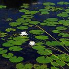 Lily pads by Jim Angel