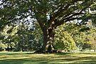Ye Olde Oak by Astrid Ewing Photography